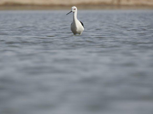 Black winged stilt standing in water