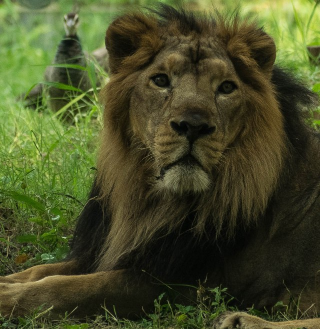 Lion laying on grass