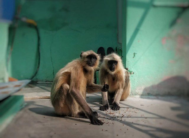 two gray langurs on a terrace