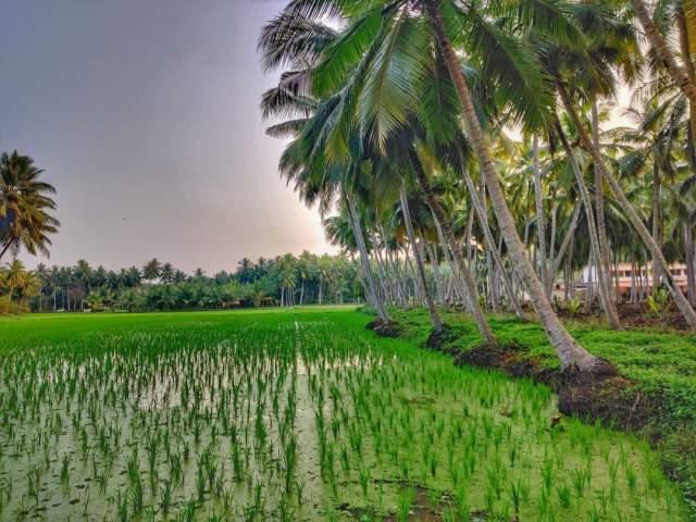 Paddy field view