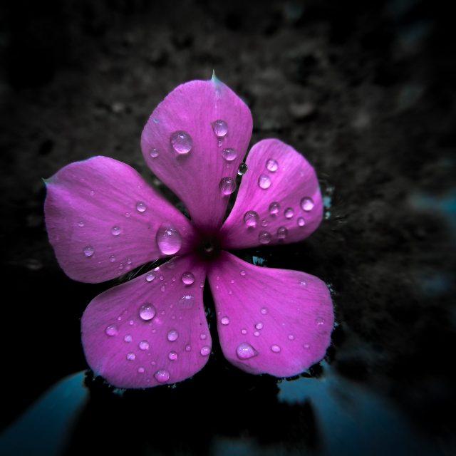 Periwinkle Flower on Focus