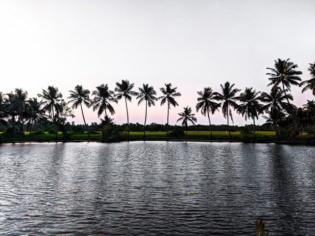 Pond and Coconut Trees