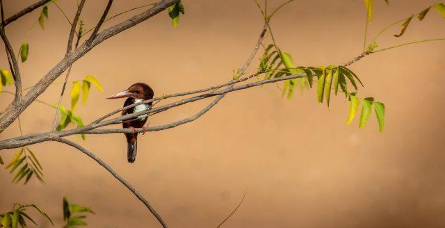 Ruddy kingfisher sitting on branch