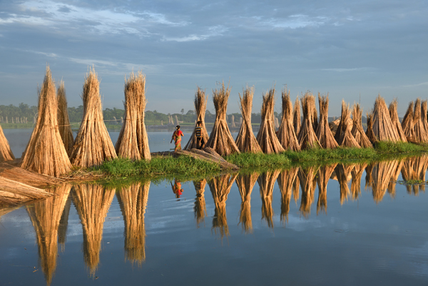 The beauty of jute cultivation in West Bengal