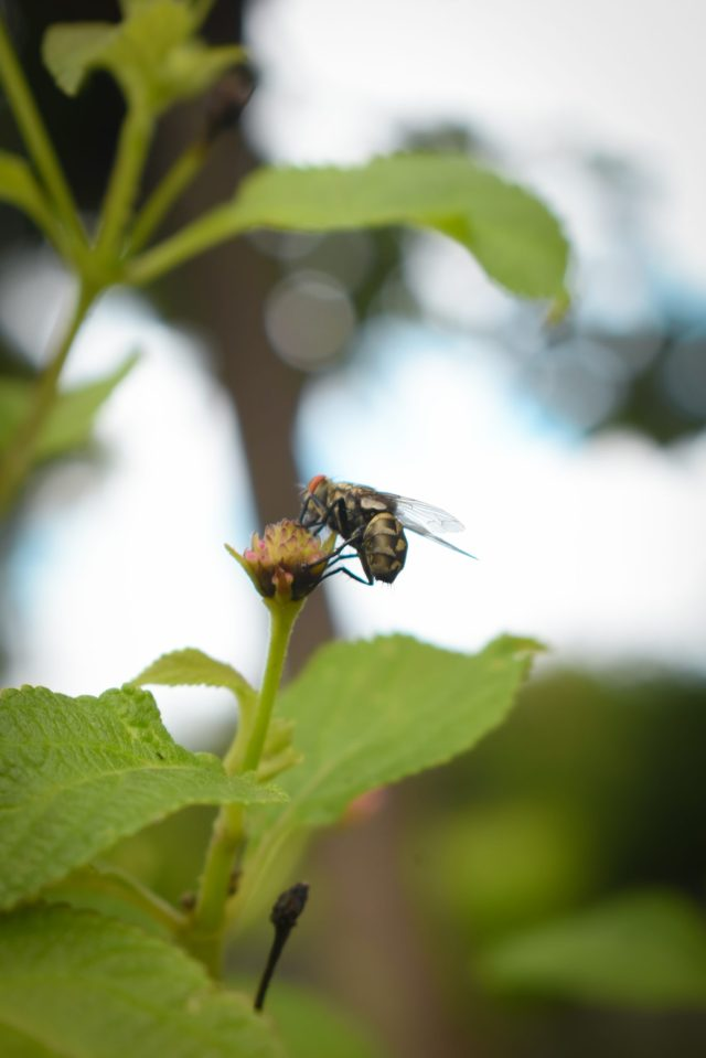 Giant Housefly on a Flower