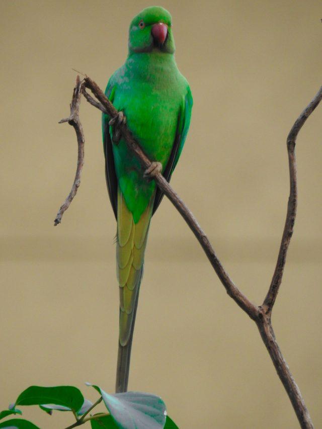 Ringed Parakeet in Tree Branch on Focus