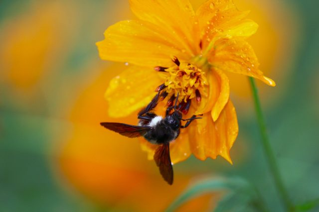 bee sucking nectar from flower
