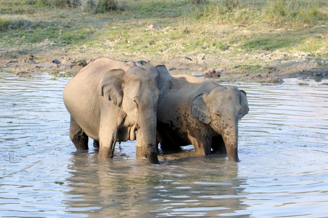 A pair of elephants in river