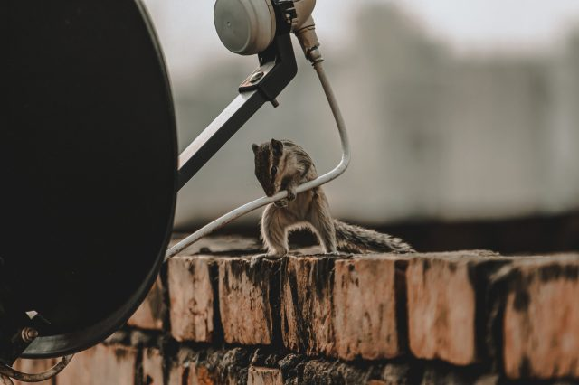 A squirrel cutting cable wire