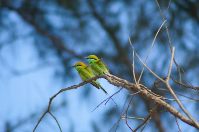 Bee eaters on a branch