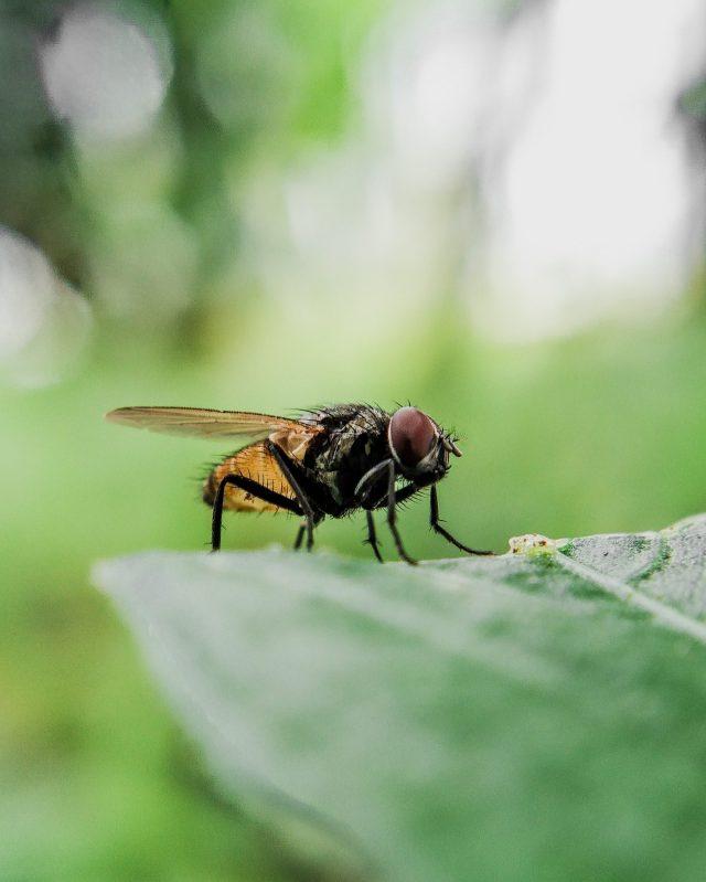 Housefly Portrait