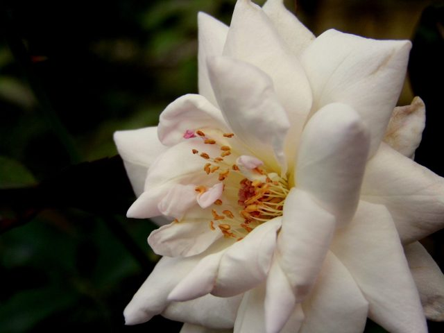 Petals of a white flower