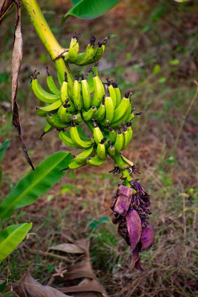Banana clumps on its tree