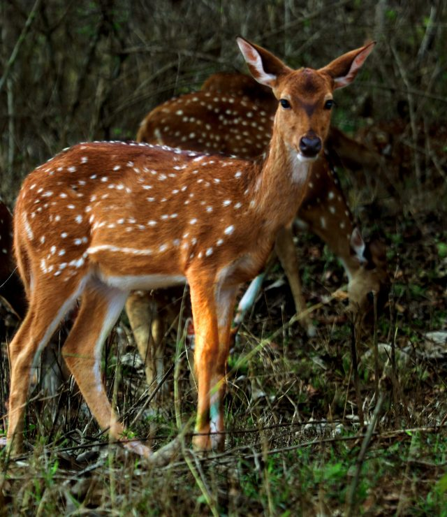 Deer in a jungle