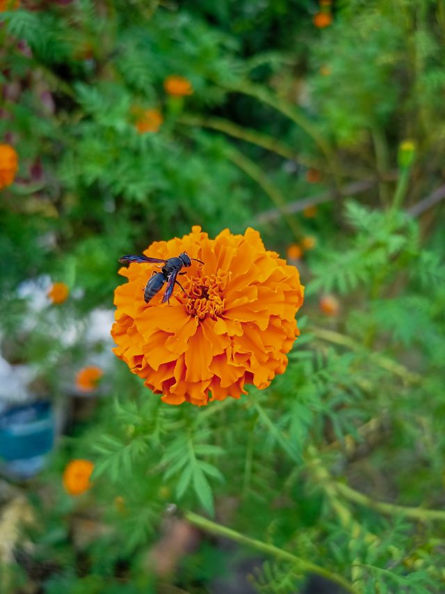 An insect on marigold flower