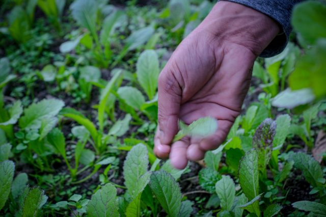 A farmer collecting edible leaves