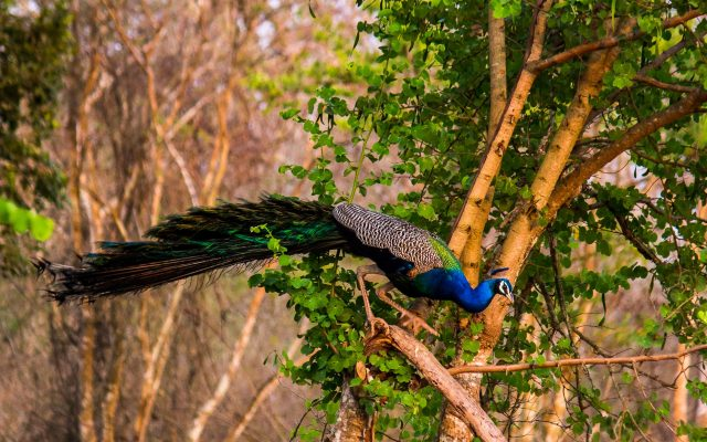 A peacock on a tree