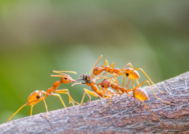 A small colony of brown ants