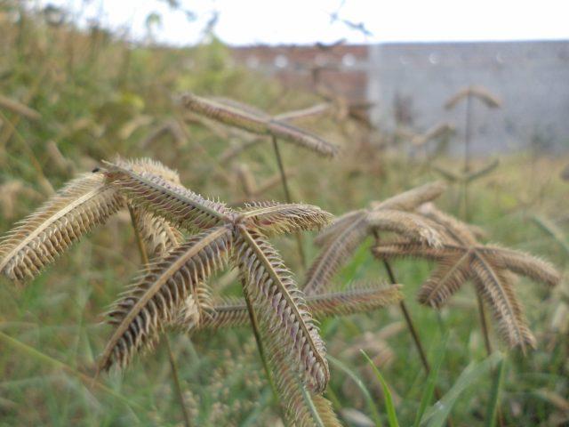 Seeds of grass