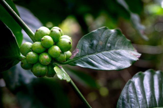 Landscape of ripe coffee beans buds