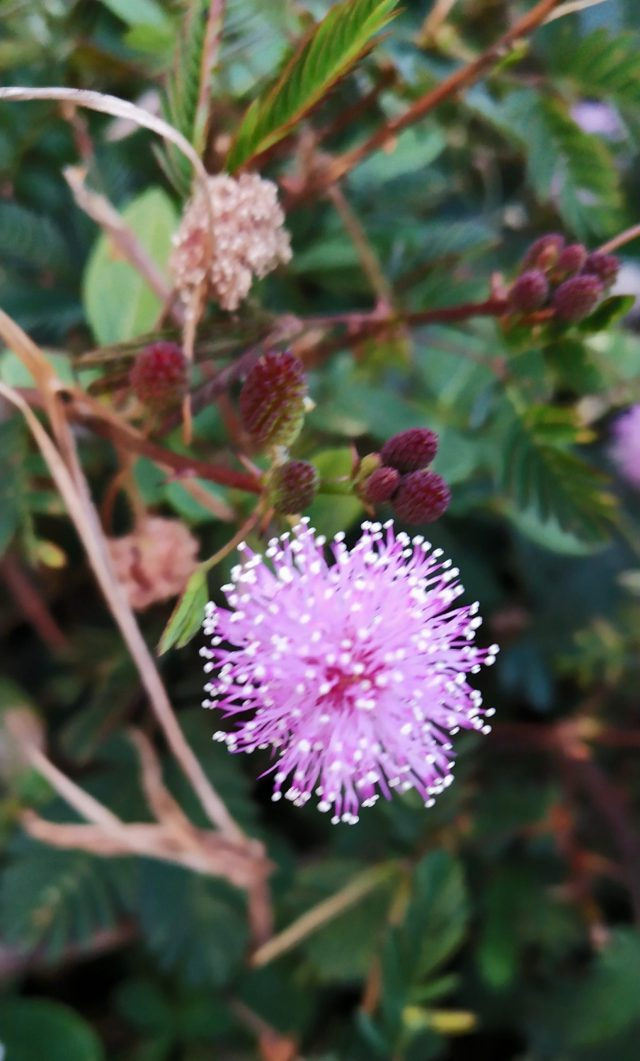 Mimosa pudica plant flower