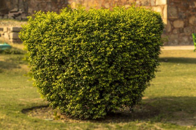 A shrub in a garden