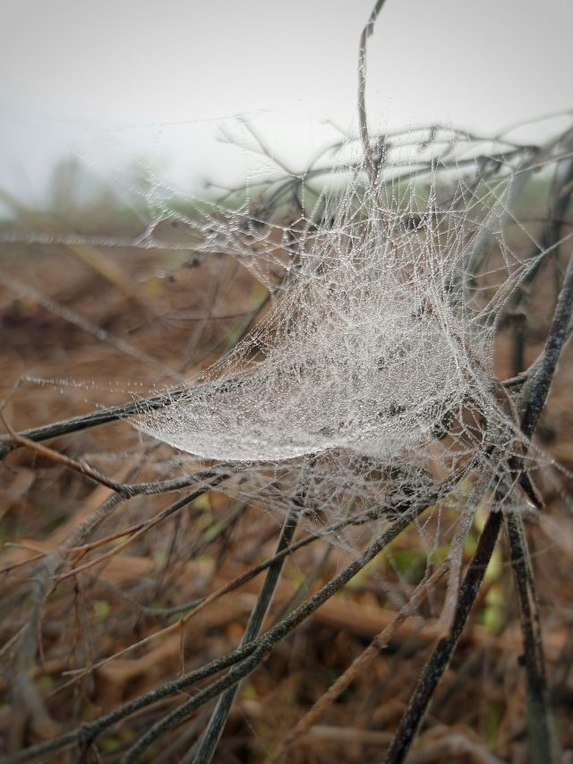 Spider web on branches