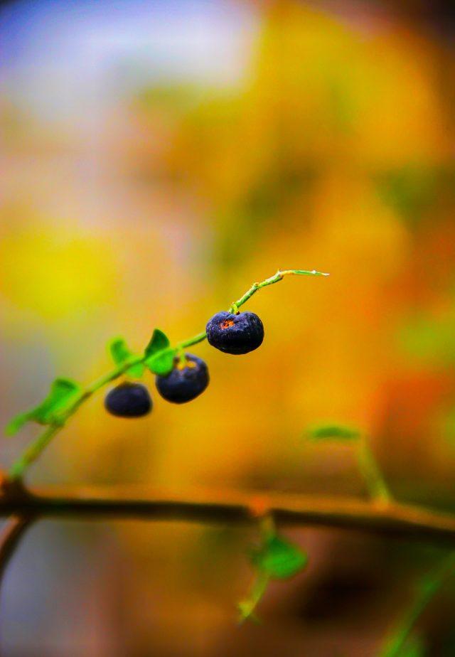blackberry on its plant