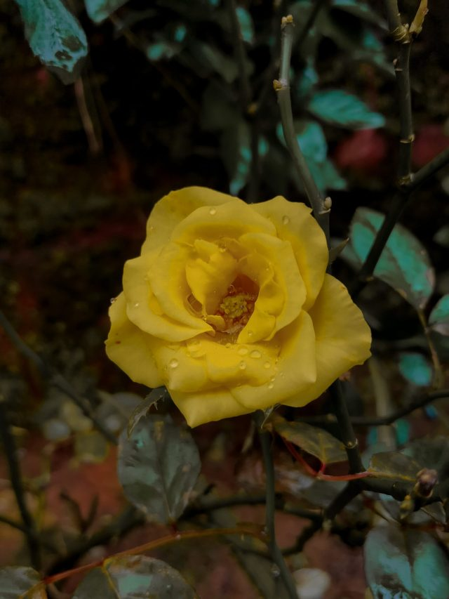 a blooming yellow rose