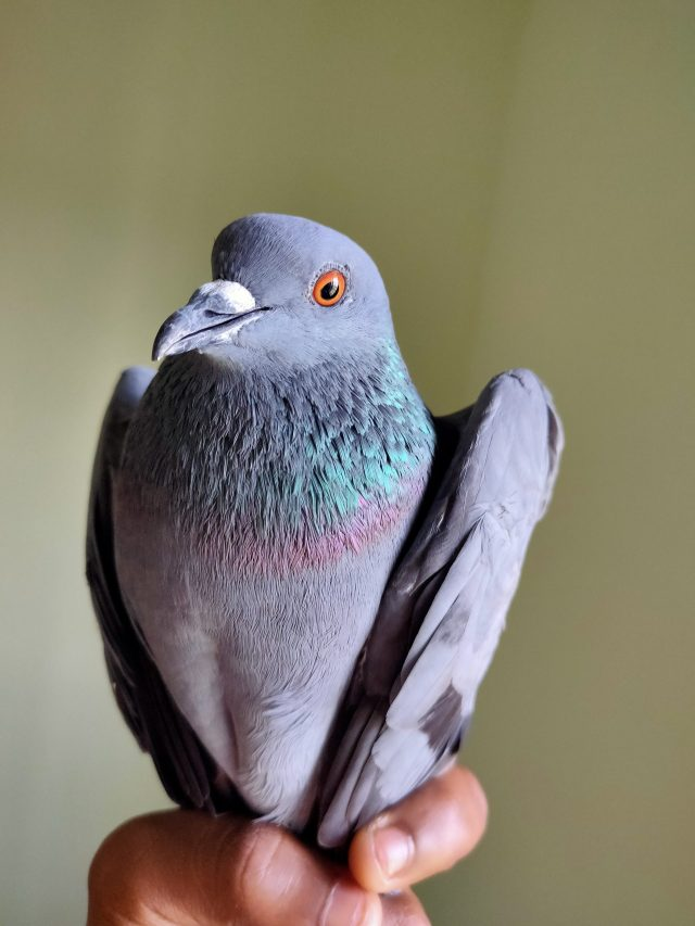 A pigeon in hand