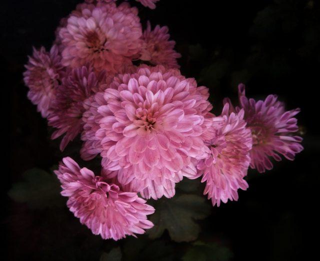 Blooming Pink Chrysanthemum