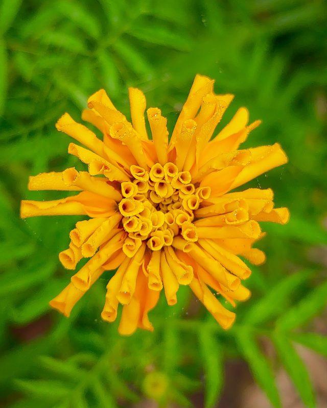 blooming of marigold