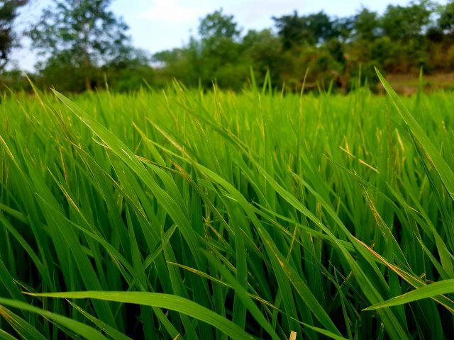 Crop view in farm