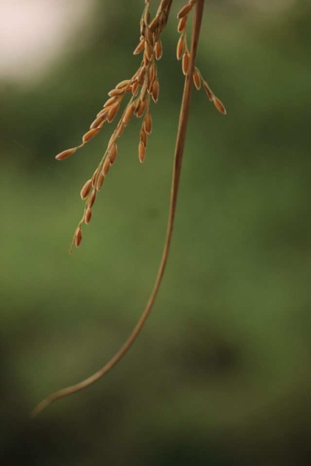 Seeds of rice plant