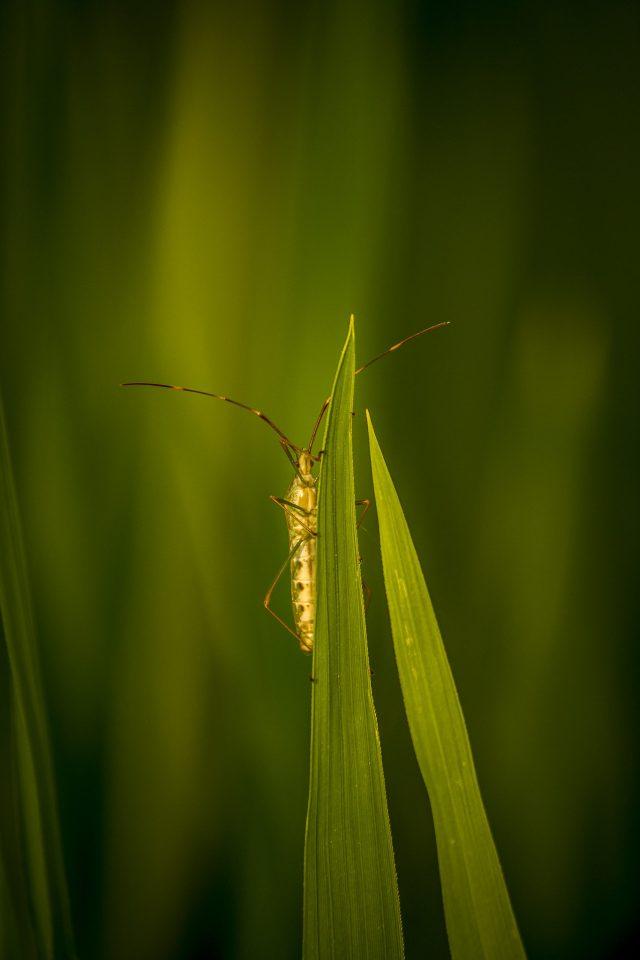 Stink Bug on a grass leaf