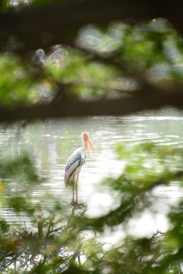 A pelican bird