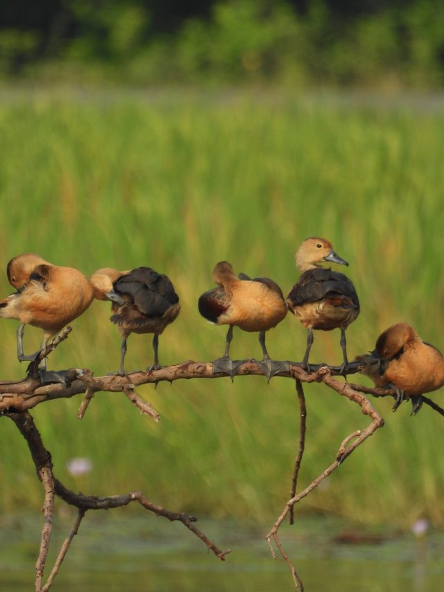 Whistling duck chicks
