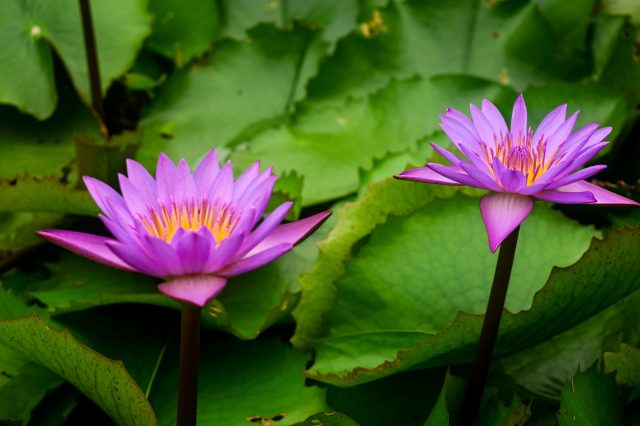 Purple lotus with yellow pollen and surrounding green leaves.