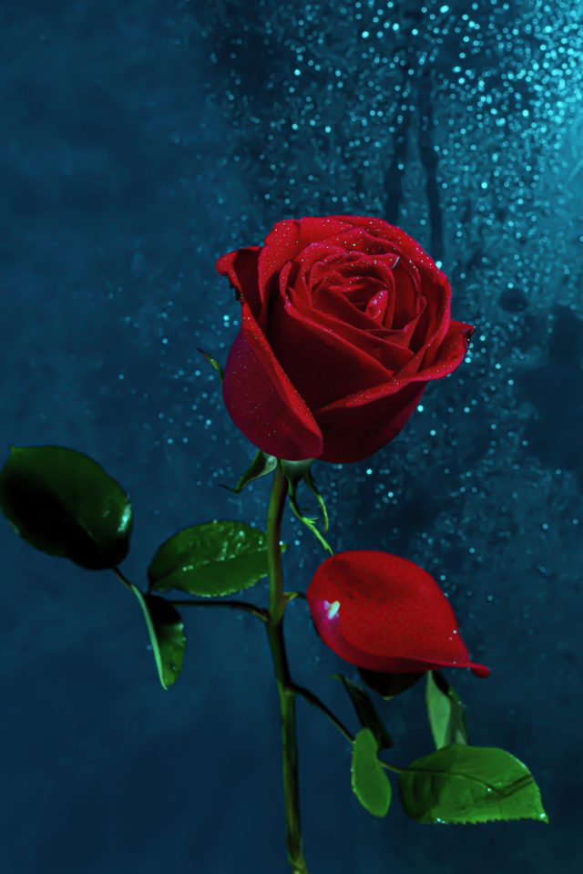 Portrait of a beautiful red rose