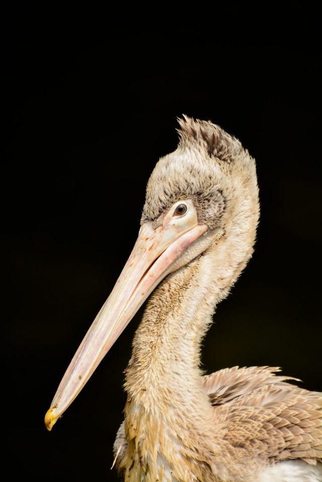 Beak of a duck