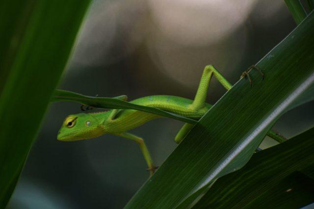 Chameleon on plant leaf