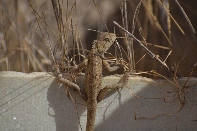 Chameleon on stone