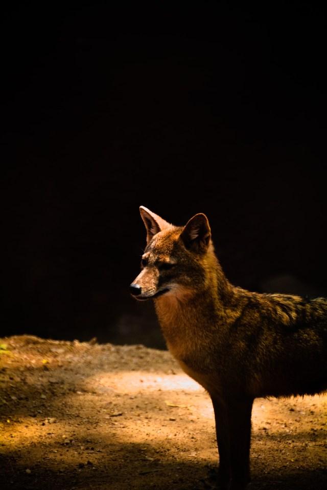 Fox in the sunlight