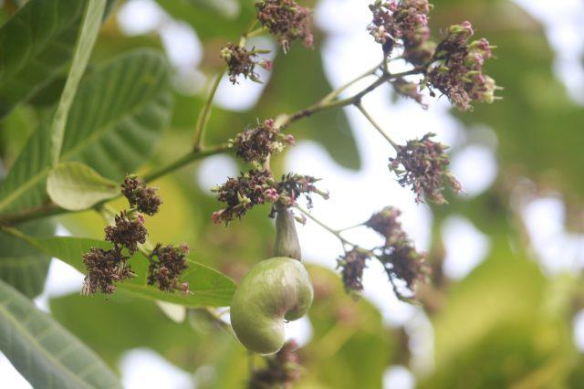 Green Cashew on plant