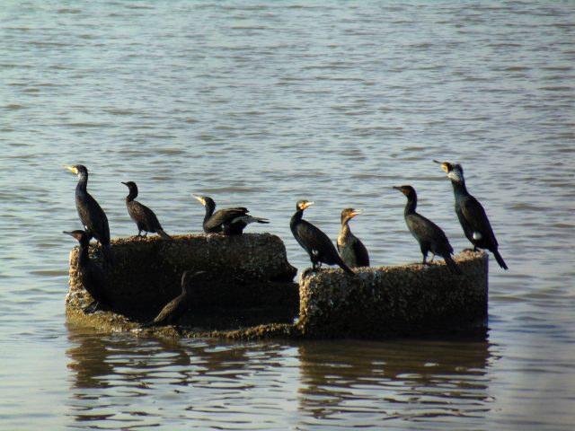Water birds on a stone in water
