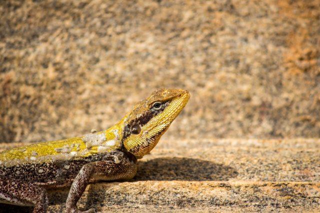A garden lizard on a surface