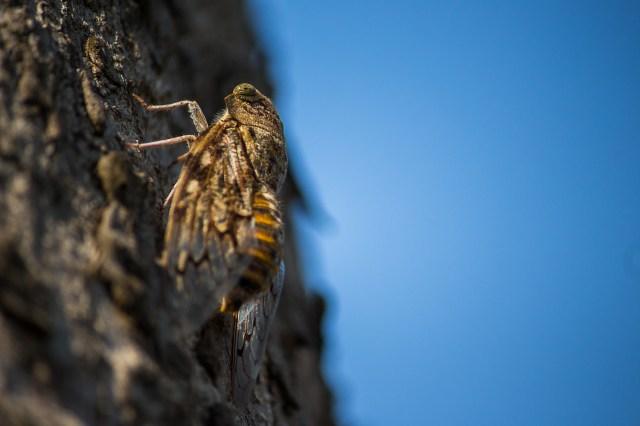 Cicadas insect on a tree bark