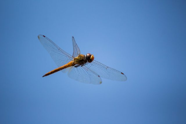 Dragonfly flying in the sky