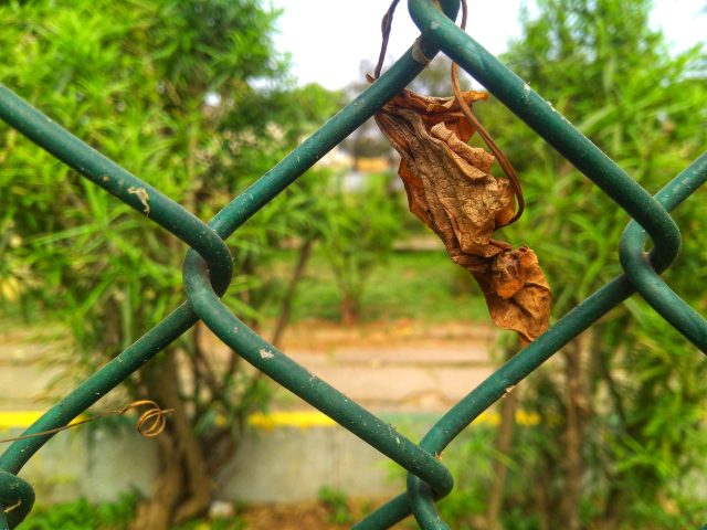 Dry leaf stuck in fence