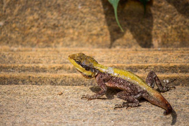 Garden lizard on ground